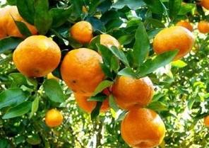 Novas alternativas de laranjas doces e tangerinas para o Nordeste